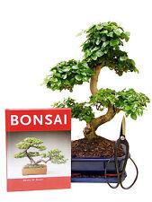 bonsai b ume mit hohem wasserbedarf f r gem igtes klima g nstig kaufen ebay. Black Bedroom Furniture Sets. Home Design Ideas