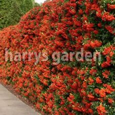 36x PYRACANTHA RED Column Evergreen Thorns Hedging Plants Pot Grown 30-40cm e282