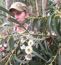 Sie erhalten 5 Samen des Pfefferminz-Eukalyptus eucalyptus radiata gegen Mücken