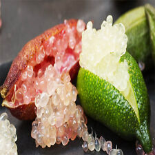 Caviar Lime Ice Pink Finger Lime 20 Seeds Local Farmer Real Seeds Fruit Tree