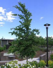*100*Chinese Elm (Ulmus parvifolia) Seeds-Bonsai-Landscape