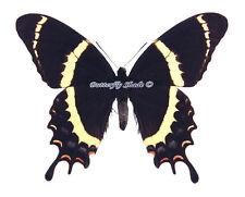 Unmounted Butterfly/Papilionidae - Papilio garamas garamas, male, Mexico