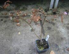 Plant Shade Deciduous Trees