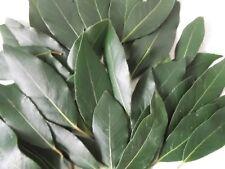 100 Fresh Organique feuilles de Laurier Laurus Nobilis