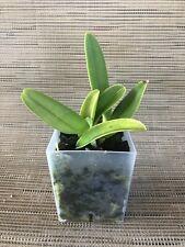 * Cattleya dowiana (Rosita type) - Orchid Plant
