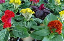 Celosia cristata Nana - Enano Surtido - 20 gramos - Aprox 24,000 Semillas - LOTE