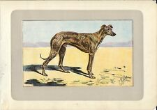 Stampa antica CANE LEVRIERO ARABO SLOUGHI GREYHOUND 1907 Old antique print dogs