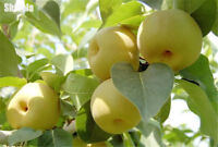 30pcs Golden Pear Asian Pear Seed Fruit Potted Tree Adequate Stock Of Everywhere