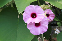 exotische Kletterpflanze die ELEFANTENWINDE mit großen Blüten.