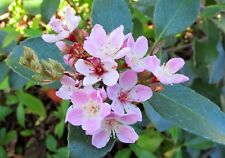 Indian Hawthorn   Rhaphiolepis indica   10 Fresh Seeds