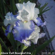 "New listing 1 ""Alizes"" Beautiful Sky Blue Tall Bearded Iris Rhizome"
