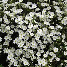 Arenaria montana 'Avalanche' / Mountain Sandwort / Hardy Perennial / 20 Seeds
