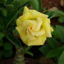 5pcs Desert Rose Flower Adenium obesum Seeds yellow  #A007
