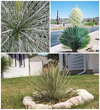 50 semi di Yucca elata, piante succulente,seed succulents
