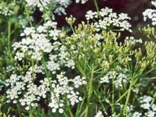 CARAWAY, HERB 1000+ SEEDS ORGANIC, CAN USE SEEDS, PLANT AND ROOTS ON THIS HERB