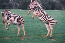 "CHARLES MURRAY AUSTRALIAN COLOURED PHOTOGRAPH ""ZEBRAS JUST HORSING AROUND"" 2002"