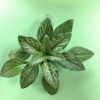 Primulina Moonlight Young Plant Gesneriads