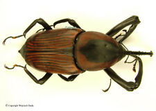 Curculionidae sp, Huge Species!, real giant!  83mm, rare!  A-