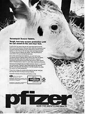 1973 Pfizer Terramycin Scours Tablets Cattle Cow Print Ad