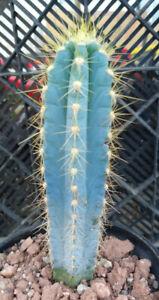 Pilosocereus azureus Blue Torch Cactus 3 Sizes to Choose From