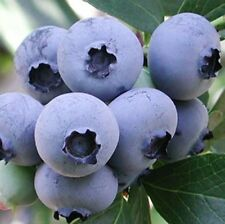 Blueberry Ozarkblue 2L Large Berries Bush Fruit Plant Blue Berries Edible