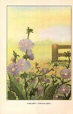 "1926 Vintage WILD FLOWER ""CHICORY"" GORGEOUS COLOR Art Print Lithograph"