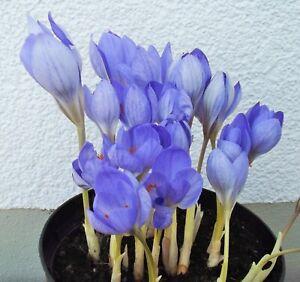 @//(◕‿◕)\@ Crocus speciosus  - Blauer Herbstkrokus (5 BLUMENZWIEBELN )