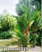 🌴 Cyrtostachys renda, Rotstielpalme, Siegellackpalme, 10 gekeimte Samen