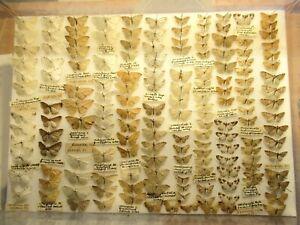 StoreBox 4 (166) British Moths Butterflies Moths Insect Lepidoptera Taxidermy