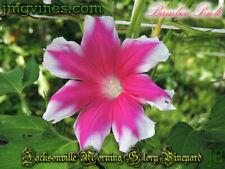 Bamboo Pink Japanese Morning Glory 6 Seeds