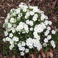 Arenaria- Montana- 50 Seeds