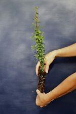 "PYRACANTHA COCCINEA ""NAVAHO"" alveolo Pyracantha nana pianta Firethorn plant"