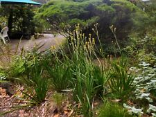 "Kangaroo Paw Yellow - 1 Plants - 8"" to 1 Feet Tall - Ship in  1 Gal Pot"