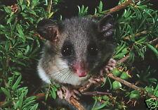 Australien: Grußkarte: Dickschwanz - Schlafbeutler