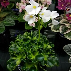 Lullaby Miniature African Violet Starter Plant (vintage/rare)