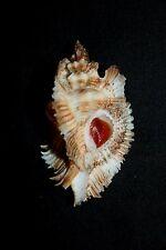 Miyoko Murex seashell (D)