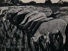 1935 Original ERGY LANDAU Wool Sheeps Lamb Animal France Photo Gravure Art 11X14
