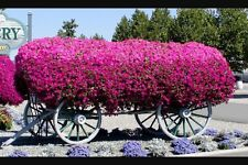 TRAILING SUPERTUNIA MINI PINK (Petunia Hybrid) For Hanging Baskets 50+ seeds