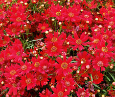COREOPSIS PLAINS RED DWARF Coreopsis Tinctoria - 5,000 Bulk Seeds