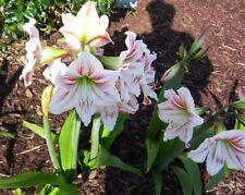 Amaryllis Bulbs 2 Base Ball Size Size Will Not Bloom Till Spring 2021