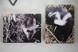 baby skunk farm ranch canvas 16x12 wildlife photo E. Barton Photography EPS21842