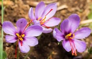 5 Jumbo Saffron Crocus Sativus Corms Bulbs - Exotic Edible Spice - Fall Blooming