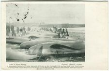 More details for capture of whales at thurso on the pentland firth 1899 caithness postcard (p2301