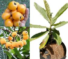 One Golden Nugget Loquat Tree Seedling 8-to-15-inch(Live Plant)