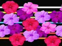 50 Impatiens seeds impatiens sun and shade Neon Hot Mix