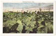Cuba Tobacco Growing  Antique Postcard