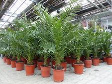 Palme 120 - 140 cm, XL Phoenix canariensis, kanarische Dattelpalme, winterhart