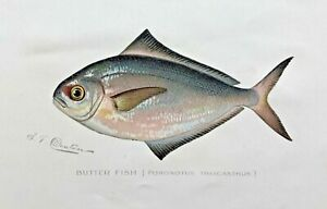 1900 RARE Antique DENTON FISH Print BUTTER FISH Poronotus triacanthusw VERY NICE