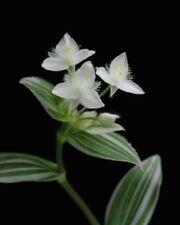 Tradescantia-fluminensis -albiflora 'Albovittata'- Succulent- 2x cuttings ROOTED