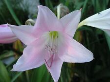 Crinum Lily, J C Harvey, medium-size bulb